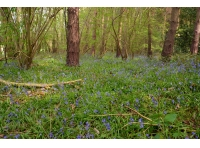 Bluebells are an indicator of ancient woodland