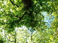 Ash canopy with beech and oak