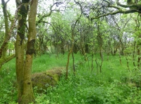 Blackthorn Scrub and Bluebells