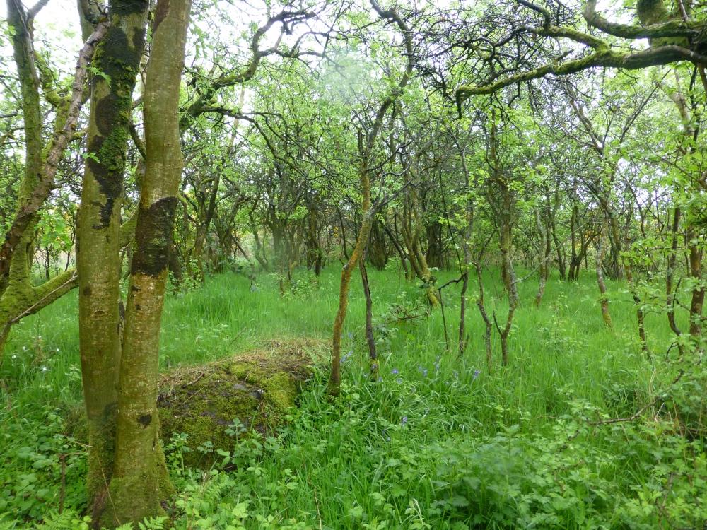 Blackthorn Scrub and Bluebells