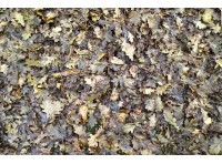 carpet of oak leaves