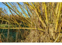 vigorous willow regrowth