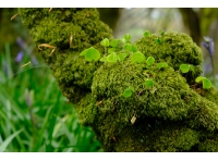 Wood Sorrell on mossy trunk