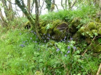 Bluebells on old stone wall