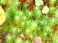 sphagnum with leaves