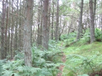 Nature trail through Scots pine