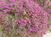 A spray of bell heather