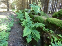 Fern in the drystone wall