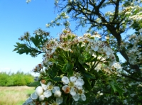 Blossom in the hedgerow