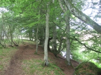 Coppice, beech beside Dowrie Burn