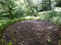 Scottish wood anthill