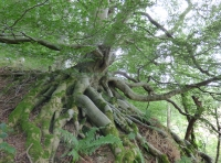 Quirky beech tree