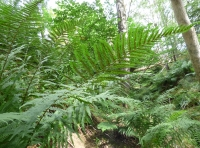 Ferns in the understory