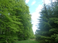 mature beech and conifer