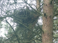 buzzard nest in the canopy