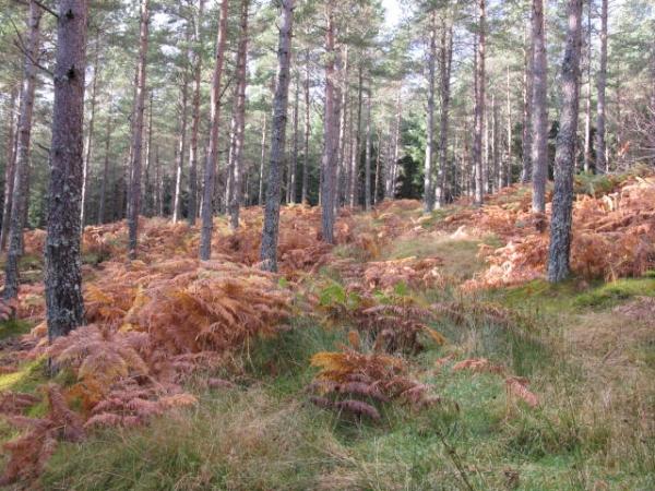 Fern and grassy floor in open Scots Pine
