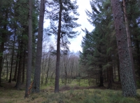 Spruce and Scots pine