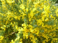 broom in bloom