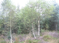 birch and heather pioneers