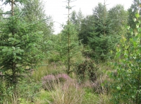 heather floor amongst spruce & birch regeneration