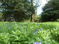 bluebells and yew trees