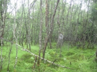 birch wetland in southeast