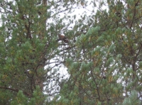 Red squirrel in tree canopy