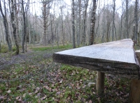 Bench amongst the birch