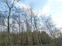 young deciduous trees