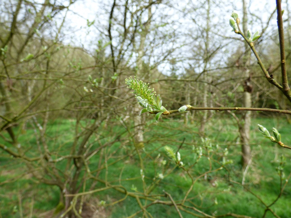 Willow coming into flower