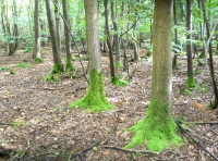 Mossy trees in Anchor Wood