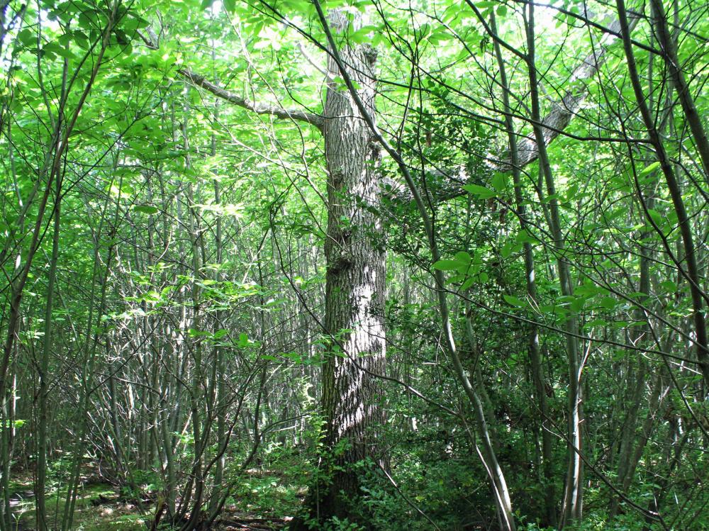 Mature oak standard