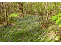 bluebells with oak, hazel, chestnut