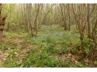 young coppice, favoured by song birds
