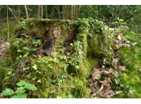 old stump, a host for mosses