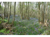 Coppice and blubells on the 'bank'