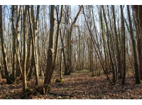 The chestnut coppice