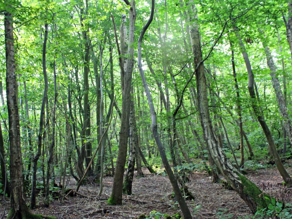 Mixed broadleaves in Cradle Wood