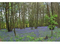 Bluebells scatter the floor in late spring amongst the mature broadleaves