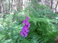 A foxglove in the wood