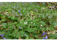 Wood anenome and bluebells