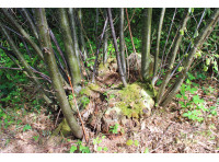 An old coppice stool
