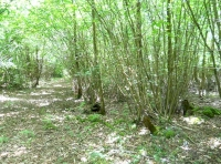 Hazel coppice in Jib Wood