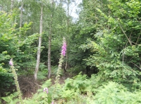 Foxgloves in the wood