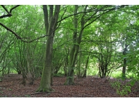 Mature beech trees in the wood