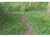 bluebells and deer path