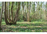 Sweet chestnut coppice