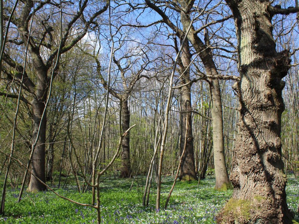 Mature oak standards