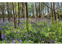 A stunning display of bluebells in Ridge Wood