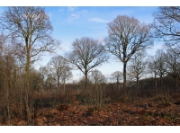 Oak standards amongst the chestnut coppice